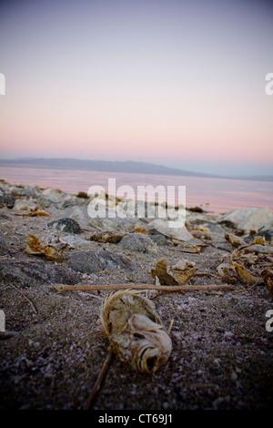 fish kill off at Salton Sea California - Stock Photo