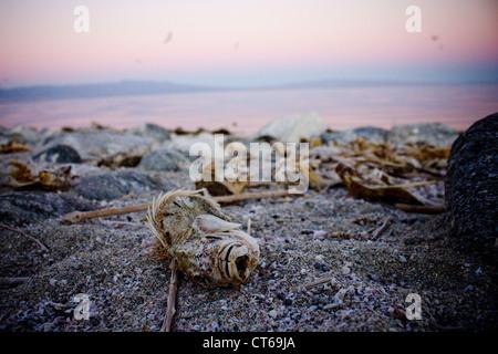 fish die off at Salton Sea California - Stock Photo