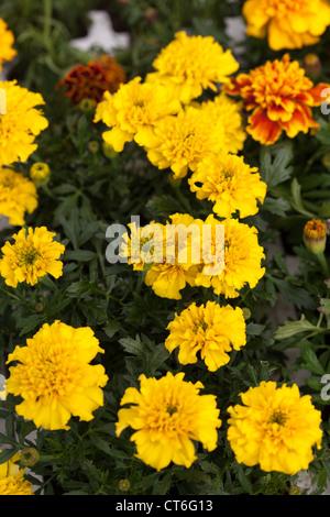 plants for sale in Garden Centre Scotland UK - Stock Photo