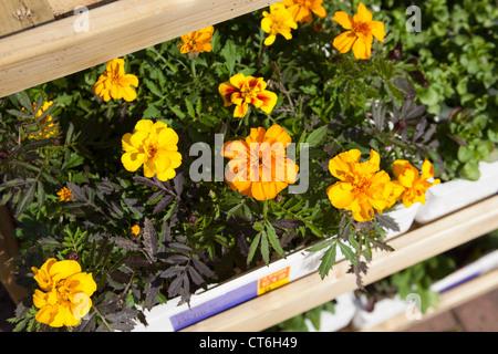 Marigold bedding plants for sale in Garden Centre Scotland UK - Stock Photo