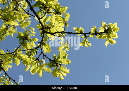 Young oak tree (Quercus robur) foliage backlit against against a blue spring sky - Stock Photo