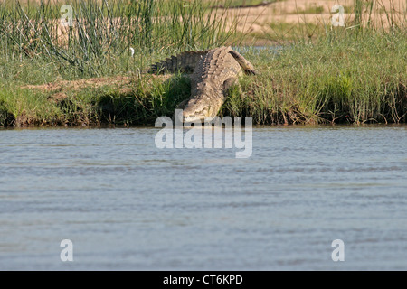 Nile Crocodile entering the water - Stock Photo