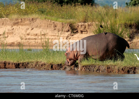 Hippopotamus walking on river bank - Stock Photo