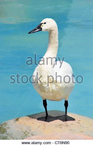 Whooper swan with a black beak standing on a rock. - Stock Photo