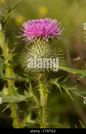 Spear Thistle, Cirsium vulgare, Cornwall, UK - Stock Photo