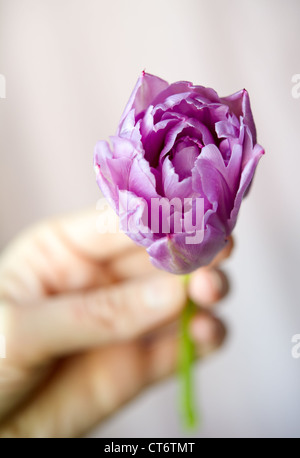 Women's hand holding small purple tulip against the light blurring background. Shallow DOF - Stock Photo