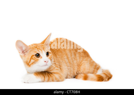 Domestic Short Hair Orange Tabby Kitten - Stock Photo