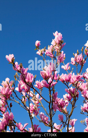 Magnolia tree blossoms, England - Stock Photo