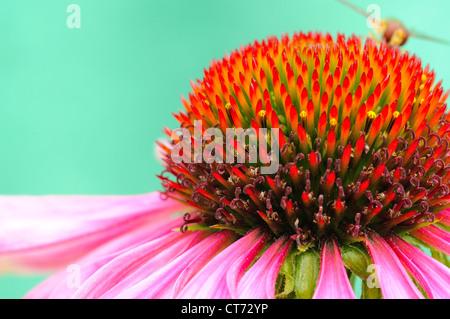 Macro shot of Echinacea purpurea with wasp in the rear. - Stock Photo