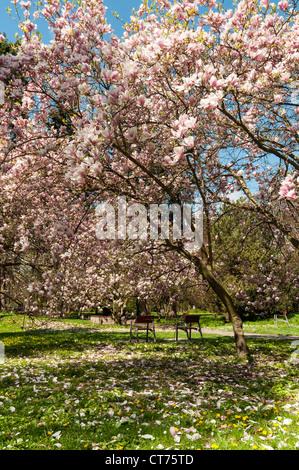 Magnolia Soulangeana Amabilis (Saucer Magnolia) Tree in Bloom, Smetanovy sady, Olomouc, Czech Republic - Stock Photo