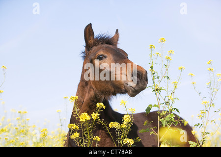 portrait of brown horse on flower meadow - Stock Photo