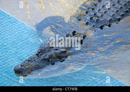 A saltwater crocodile at the Australia Zoo on the Sunshine Coast in Queensland, Australia - Stock Photo