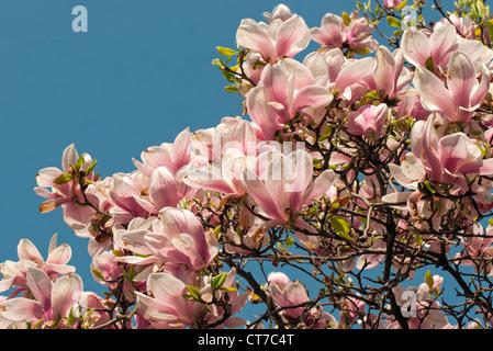 Flowering Magnolia Soulangeana Amabilis (Saucer Magnolia), Smetanovy sady, Olomouc, Czech Republic - Stock Photo