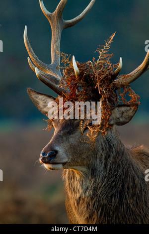 Young Red Deer stag (Cervus Elaphus) wearing bracken head dress during the autumn rut - Stock Photo