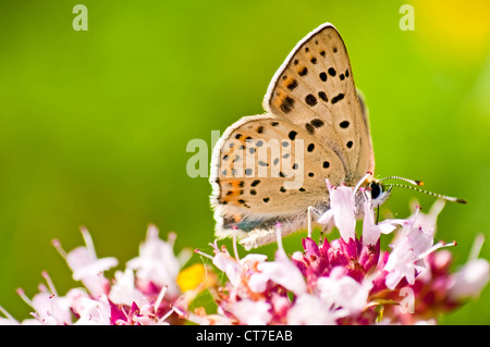 common blue, Polyommatus icarus on a wild thmye - Stock Photo