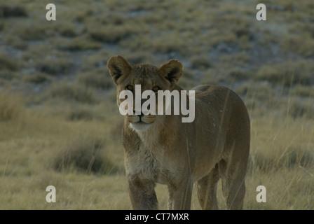African Lion (Panthera leo) Etosha National Park, Namibia - Stock Photo