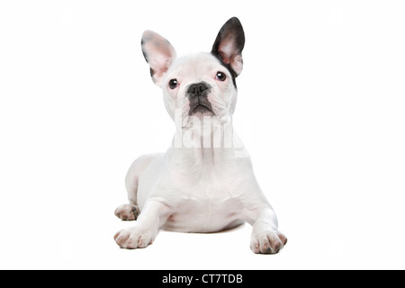 French Bulldog puppy in front of a white background - Stock Photo