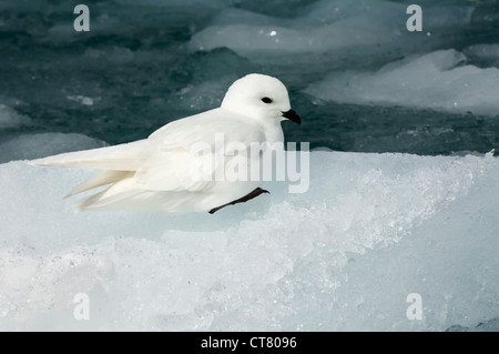 Snow petrel (Pagodroma nivea) on the pack ice, Molkte Bay, South Georgia - Stock Photo