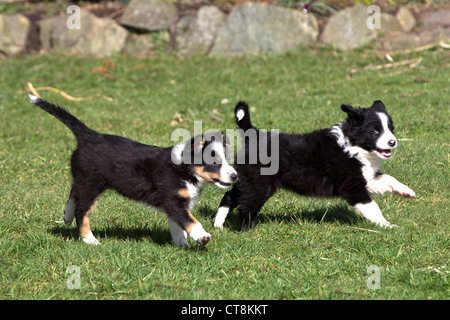 Border collie puppies, black & white puppies - Stock Photo