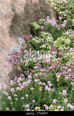 Rock soapwort (Saponaria ocymoides) - Stock Photo