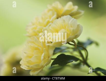 Rosa banksiae lutea, Rose, Yellow banks - Stock Photo