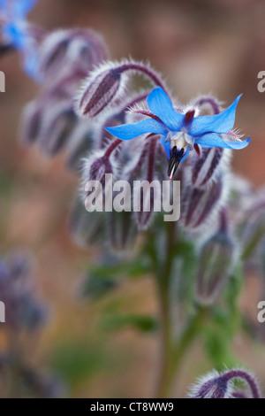 Borago officinalis, Borage - Stock Photo