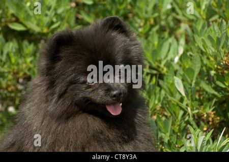 Pomeranian-head shot - Stock Photo