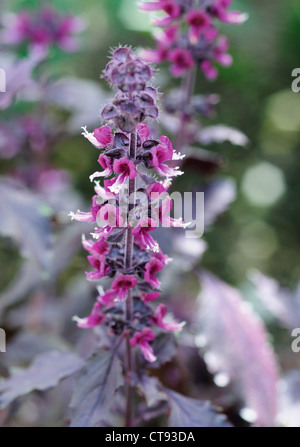 Ajuga reptans 'Purple Delight', Bugle - Stock Photo