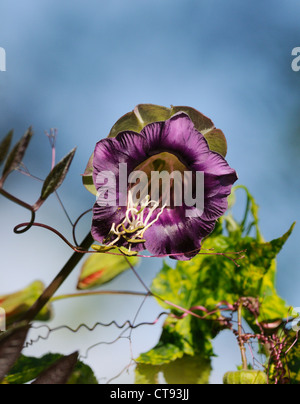 Cobaea scandens, Cup and saucer - Stock Photo