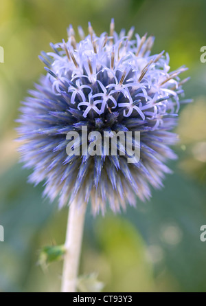 Echinops bannaticus 'Taplow blue', Globe thistle. Blue flower. - Stock Photo