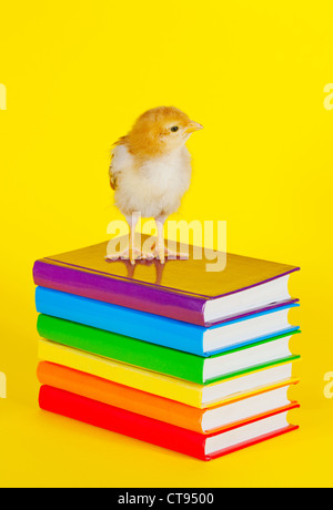 Small baby chicken on a stack of books against yellow background - Stock Photo