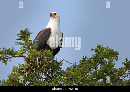 The African Fish Eagle (Haliaeetus vocifer) perches in an acacia tree near Kazinga Channel in Uganda, Africa. - Stock Photo