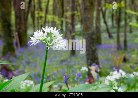 Duloe Woods; wild garlic; Allium ursinum; spring; Cornwall; UK - Stock Photo