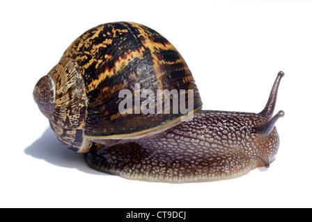 Common brown garden snail - Stock Photo