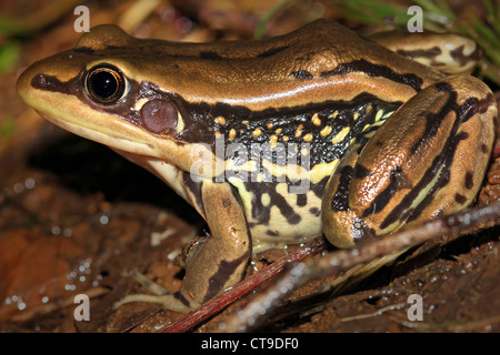 Galam White-lipped Frog (Hylarana galamensis) on a leaf/grass in Uganda, Africa. Found along the Nile River in Jinja, - Stock Photo