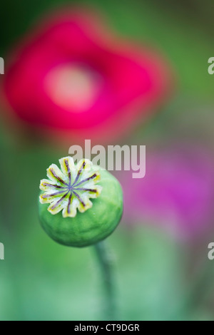 Papaver somniferum. Poppy flower seed pod. Selective focus - Stock Photo
