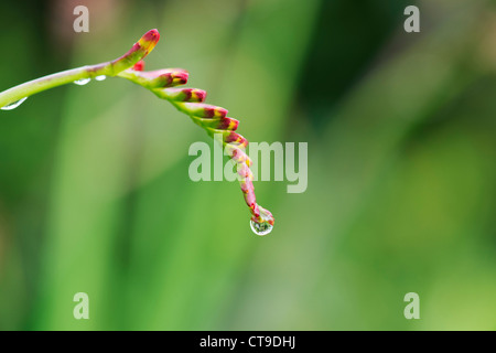 Water drop on a closed Crocosmia lucifer flower - Stock Photo