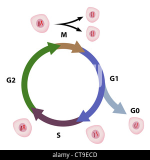 Cell cycle - Stock Photo
