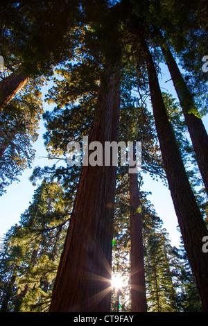 Mariposa Grove of Giant Sequoias, Yosemite National Park, CA, USA - Stock Photo