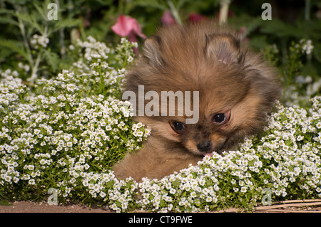 Pomeranian puppy sniffing flowers - Stock Photo