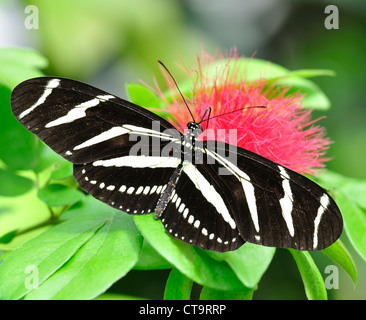 Zebra Longwing (Heliconius Charitonius) Butterfly - Stock Photo
