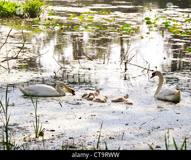 White Swans With Nestlings On The Lake - Stock Photo