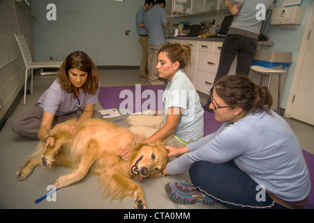 A veterinarian evaluates the physical condition of a dog before treatment at an animal hospital in Santa Monica, - Stock Photo