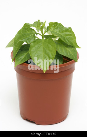 how to grow pepper plants in pots