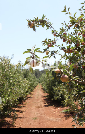 Apple Orchard at Metula Israel - Stock Photo