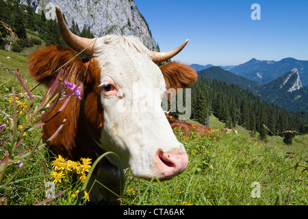 Cattle on an alpine pasture, Upper Bavaria, Germany - Stock Photo