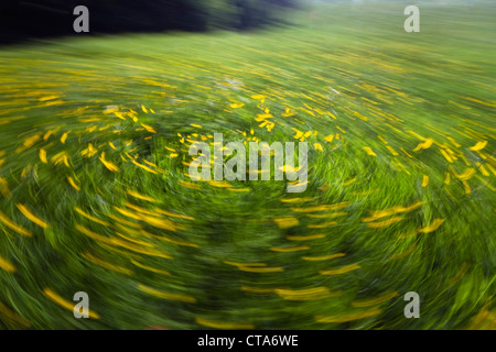 Flower meadow with buttercups (Ranunculus acris), Upper Bavaria, Germany - Stock Photo
