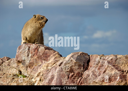 Rock Hyrax or Cape Hyrax - Procavia capensis - on rock, Hermanus, South Africa - Stock Photo