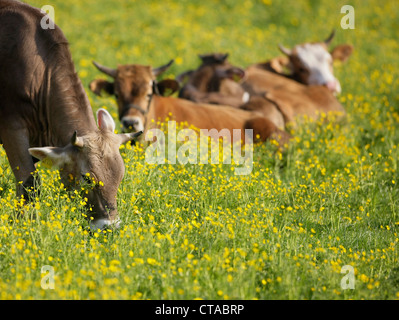 Young cows lying on a Spring meadow, Domestic cattle, Muensing, Bavaria, Germany - Stock Photo