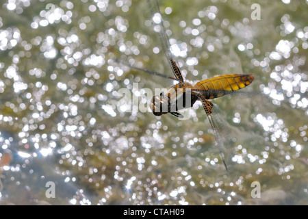 Dragonfly hovering in the air - Stock Photo